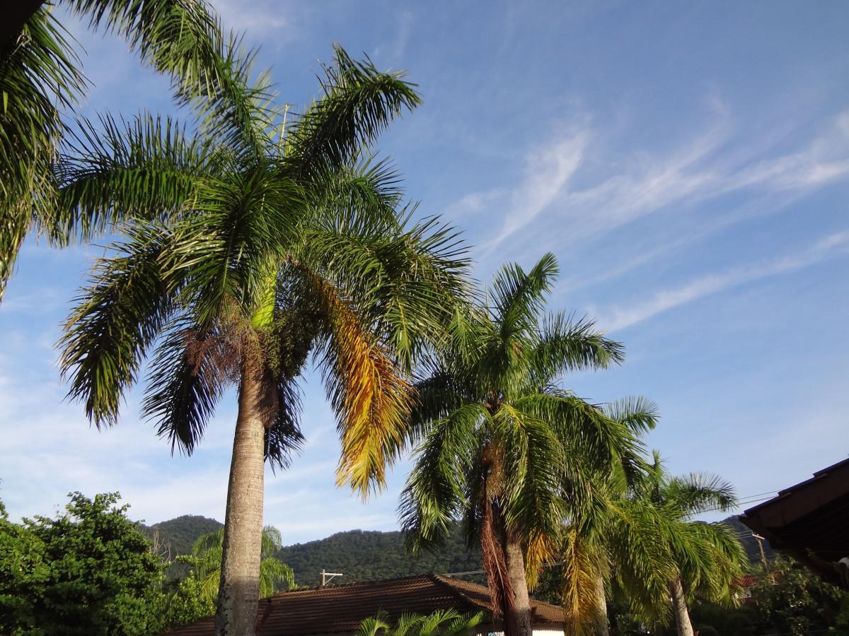 Images Gratuites C Te Arbre Ciel Botanique V G Tation Tropiques Palerme Plante Fleurs
