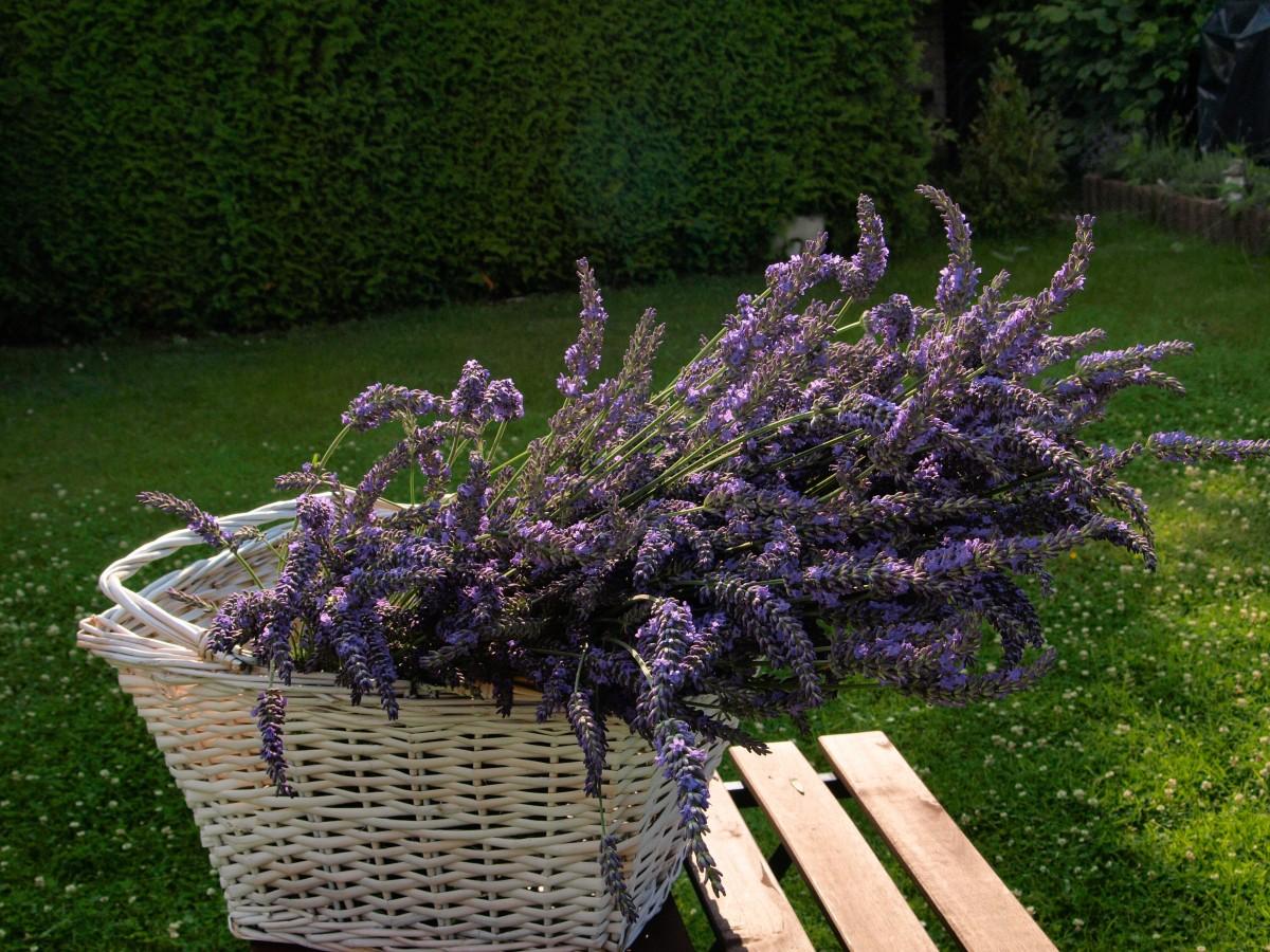 kostenlose foto baum bl hen blume lila kraut botanik garten korb flora lavendel. Black Bedroom Furniture Sets. Home Design Ideas
