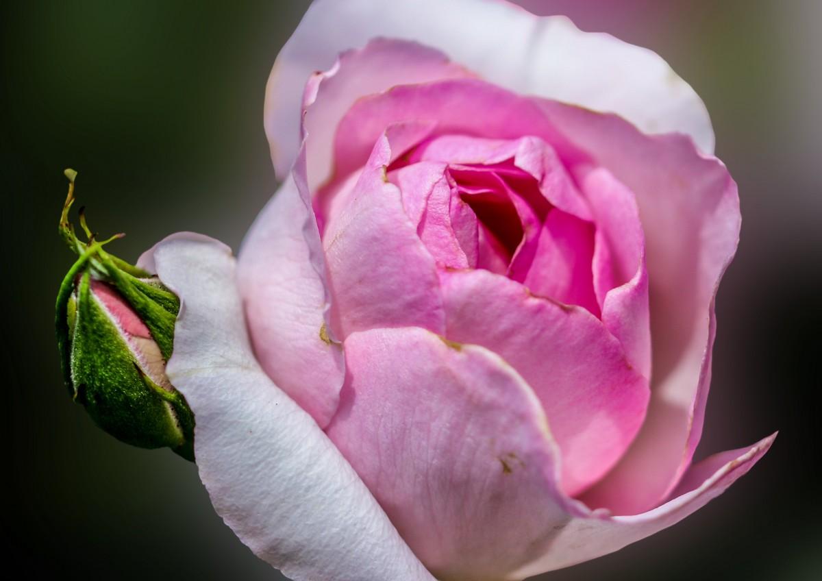 Любимому, открытка цветок распускается