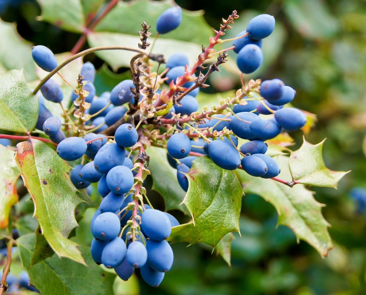 Цветок с синими ягодами фото