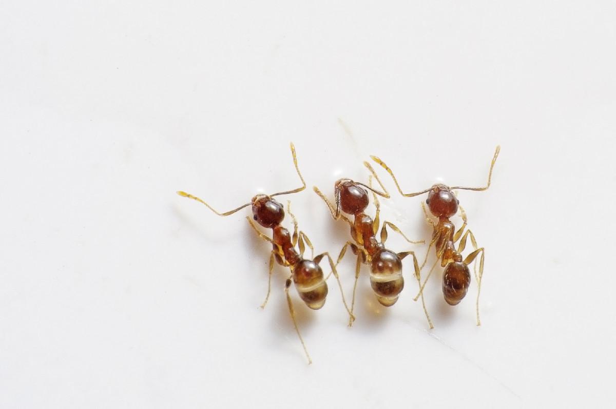 его как избавиться от муравьев древоточцев