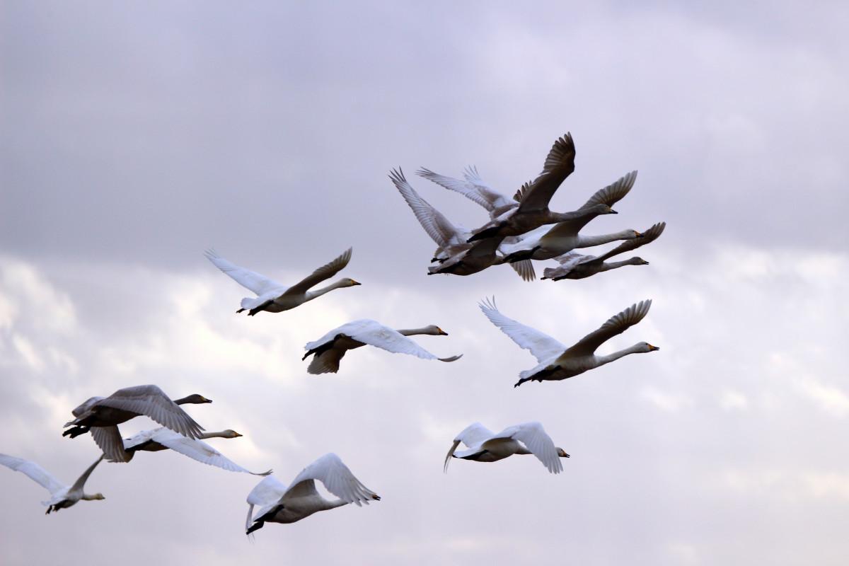 swan_whooper_swan_bird_migratory_bird_swans_birds_sky_flock_of_birds-827409.jpg!d
