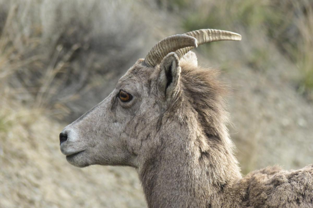 Images gratuites animal faune mouton fermer t te - Photos de moutons gratuites ...