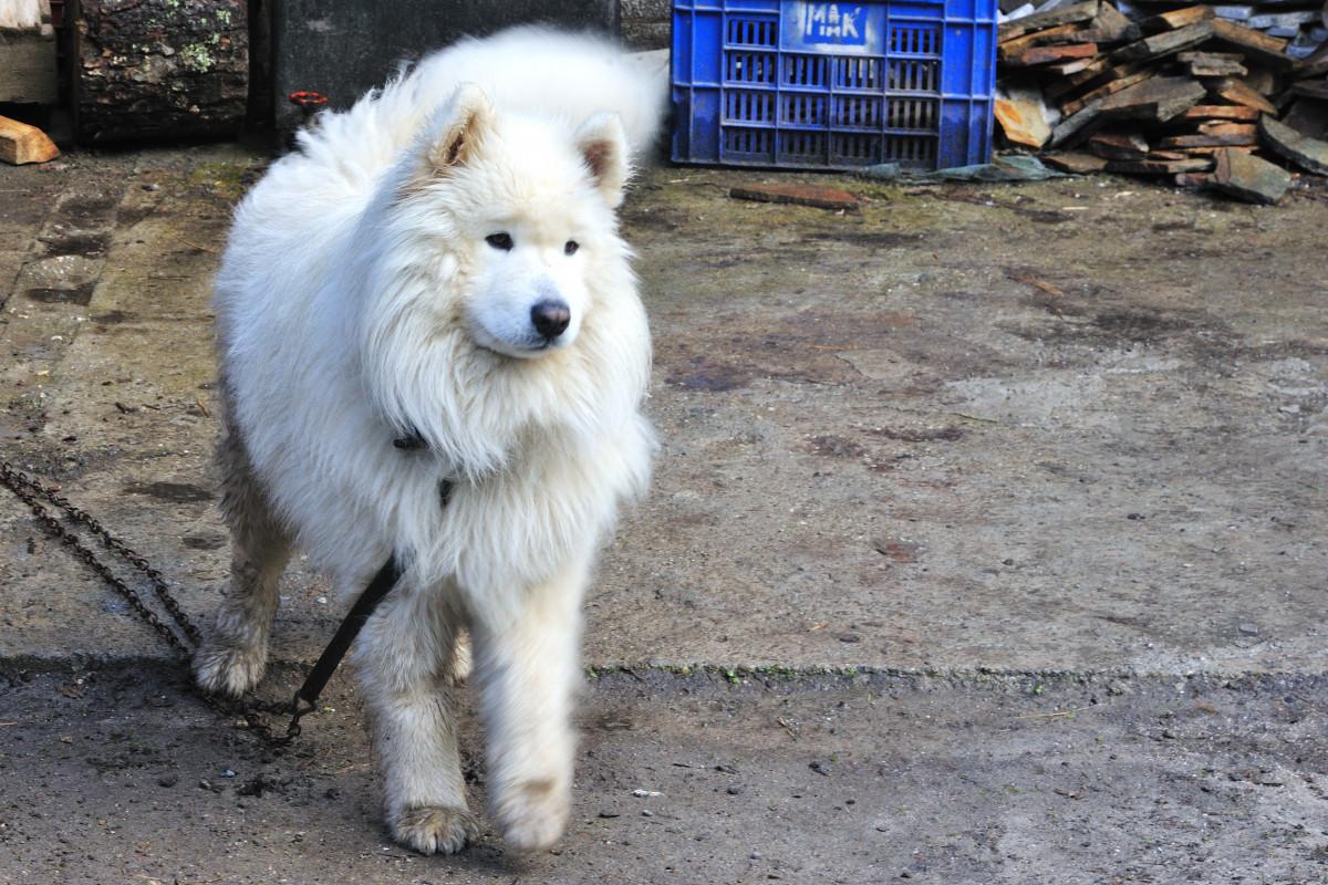 Giant samoyed dog