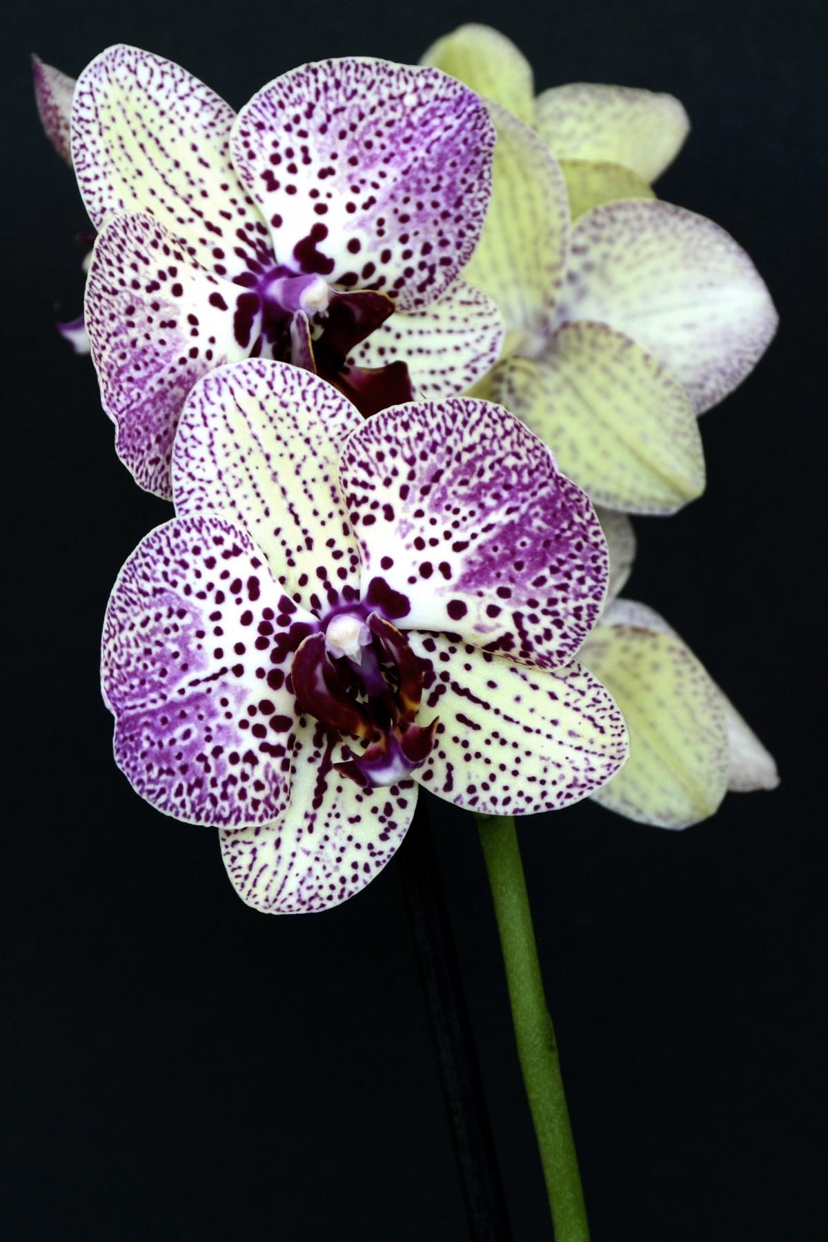 images gratuites la nature fleur violet p tale floraison botanique flore orchid e. Black Bedroom Furniture Sets. Home Design Ideas