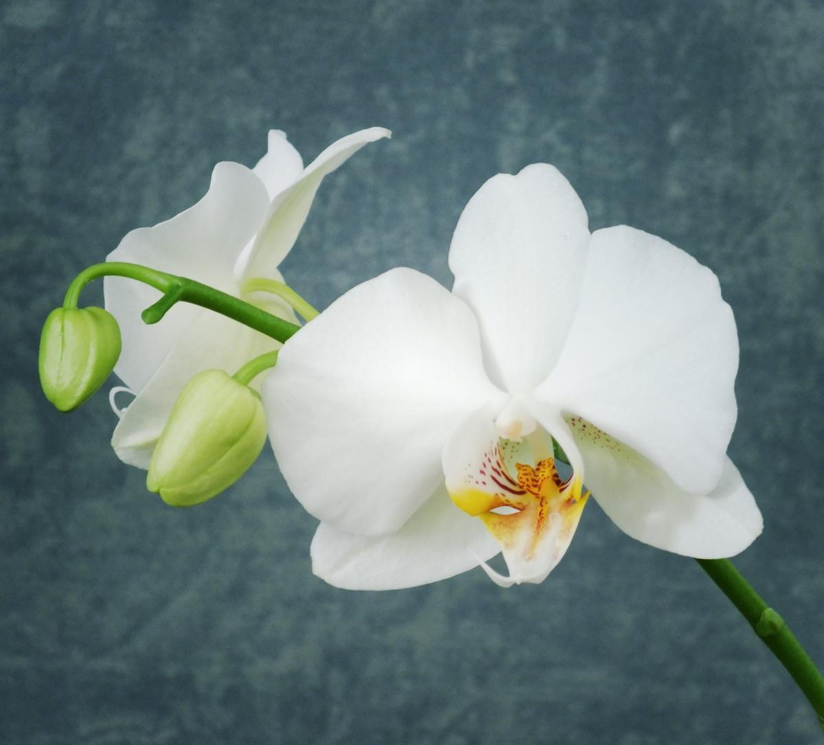 картинки орхидей на ножке явно любит сниматься