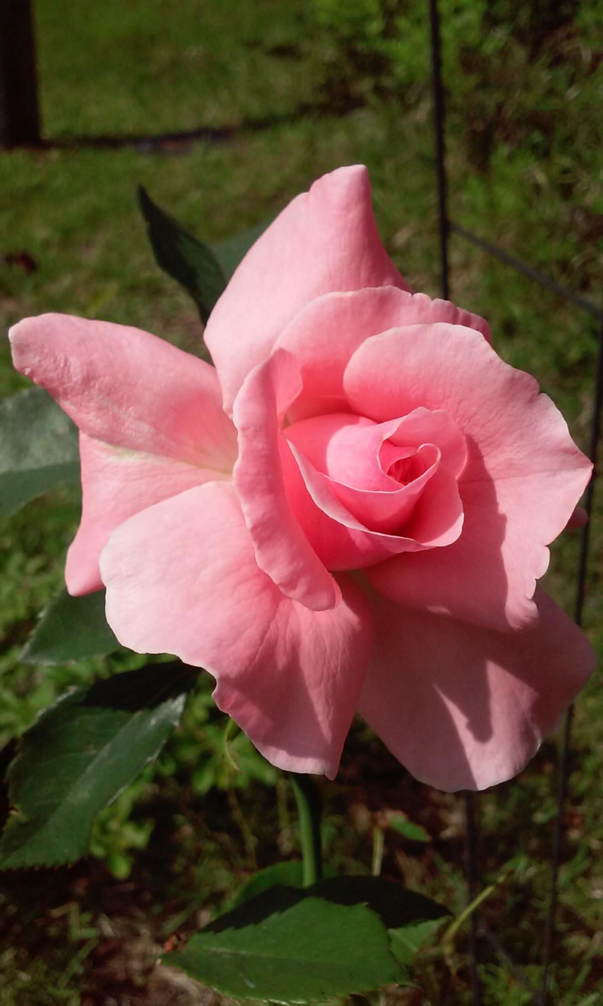 Immagini belle fiore bianca flora famiglia di rosa for Rosa pianta