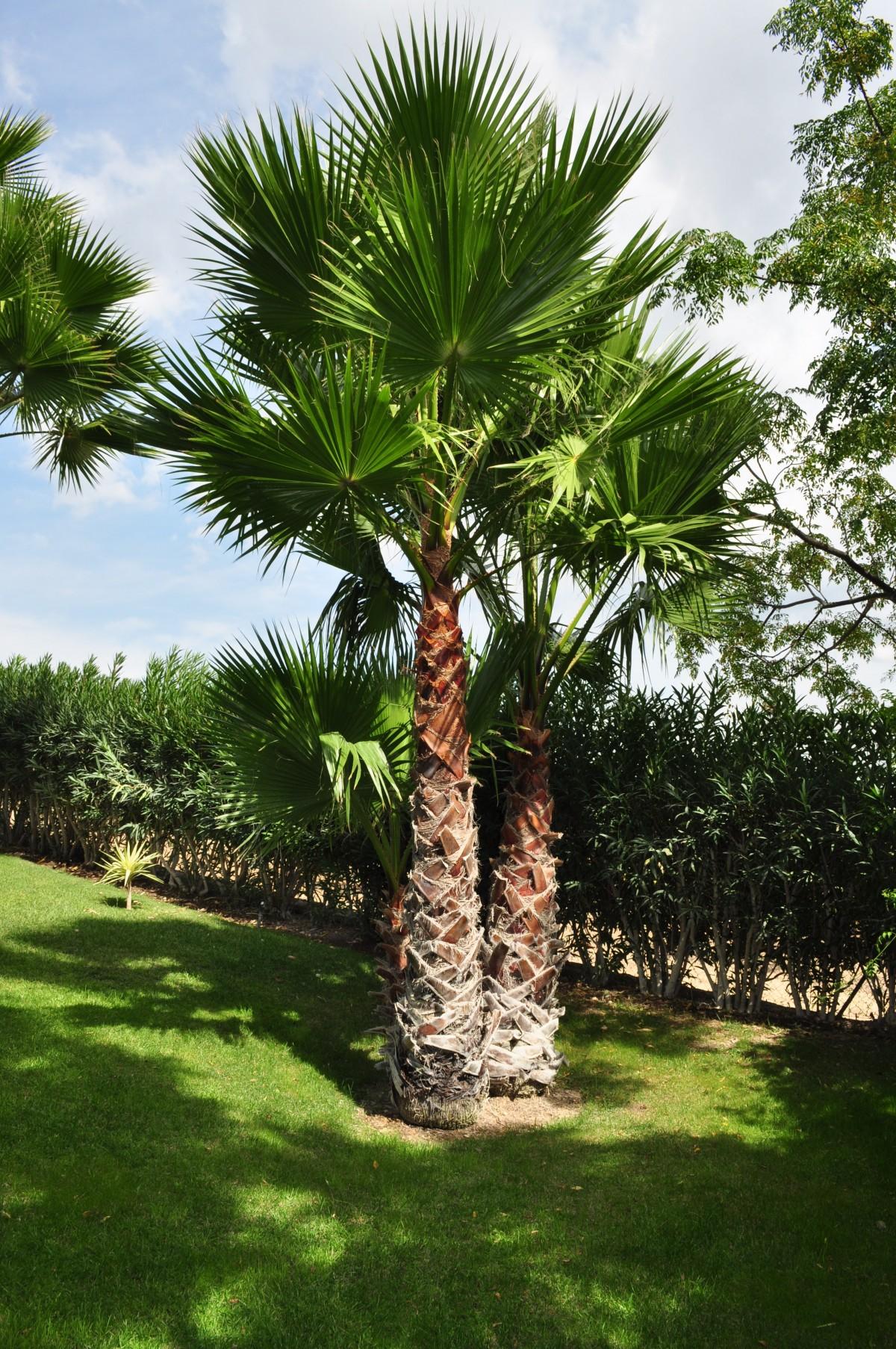 images gratuites arbre fleur t m diterran en haute paume produire botanique jardin. Black Bedroom Furniture Sets. Home Design Ideas