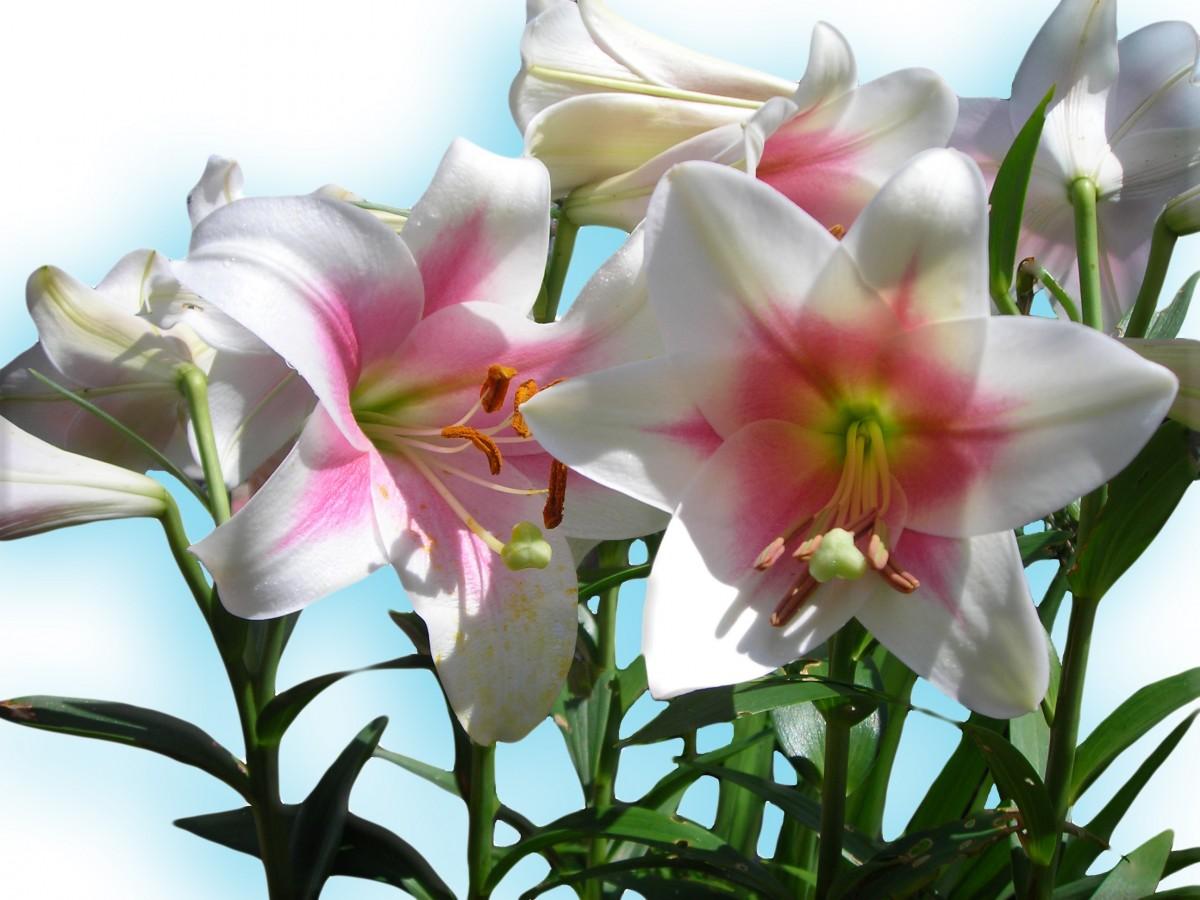kostenlose foto wei blume bl tenblatt fr hling botanik blau flora blumen lilien. Black Bedroom Furniture Sets. Home Design Ideas
