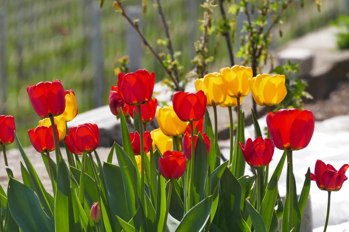 Фото открыток цветов тюльпаны тяжёло