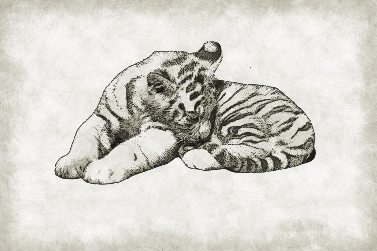 Images gratuites noir et blanc animal mignonne faune - Images tigres gratuites ...