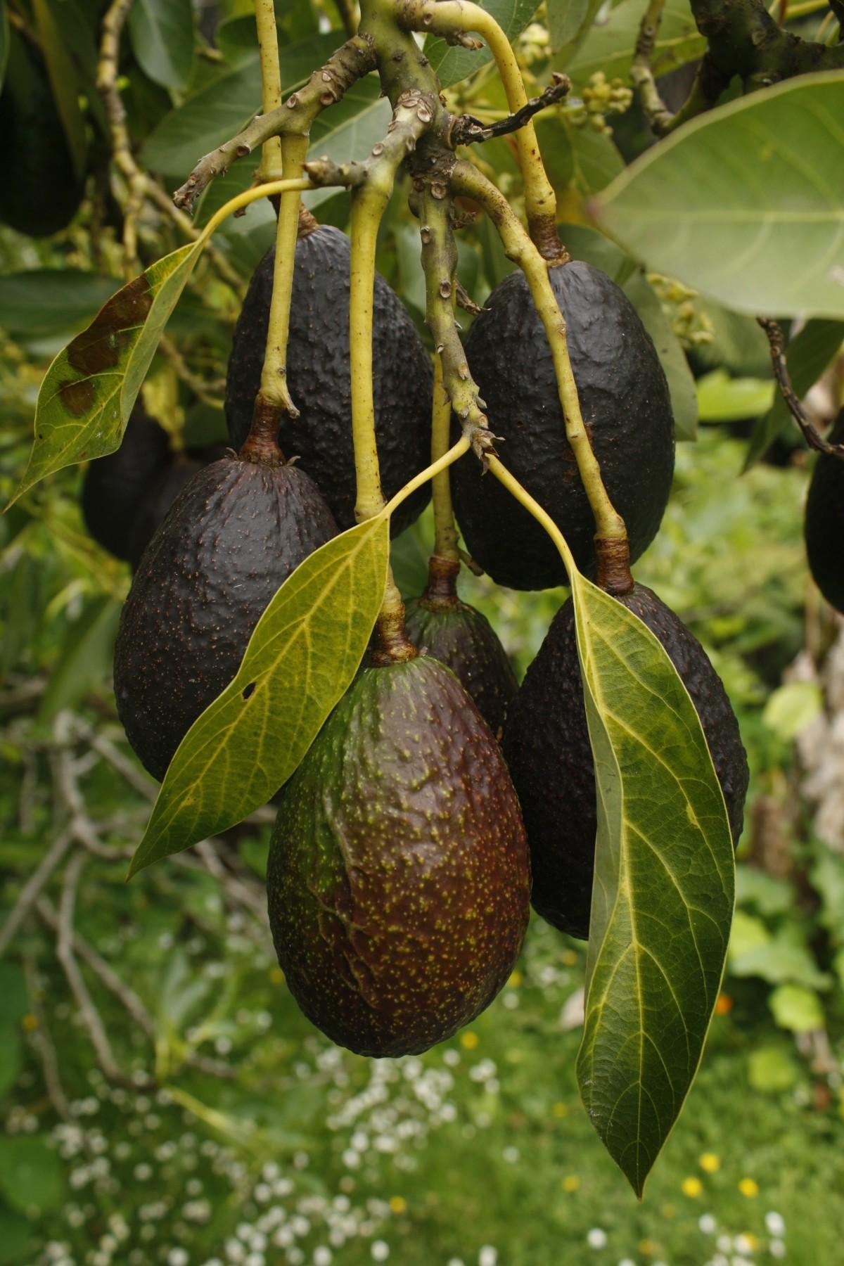 bildet tre anlegg frukt mat gr nn produsere naturlig evergreen avokado busk feijoa. Black Bedroom Furniture Sets. Home Design Ideas