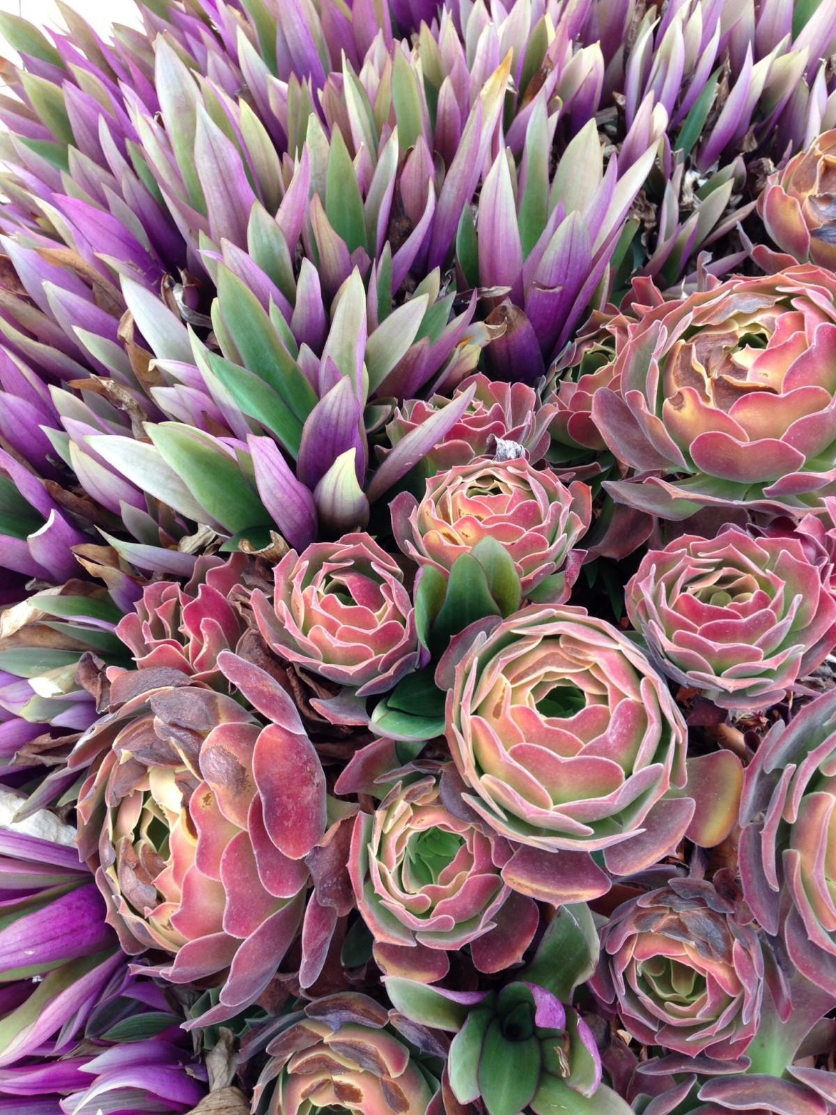 Free Images : cactus, purple, petal, mediterranean, produce, flora ...