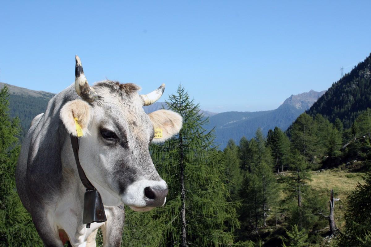montaña, excursionismo, prado, animal, cordillera, vaca, pastar, pasto, mamífero, montañas, Alm, Tirol, Tirol del sur, vaca lechera, Ganado como mamífero
