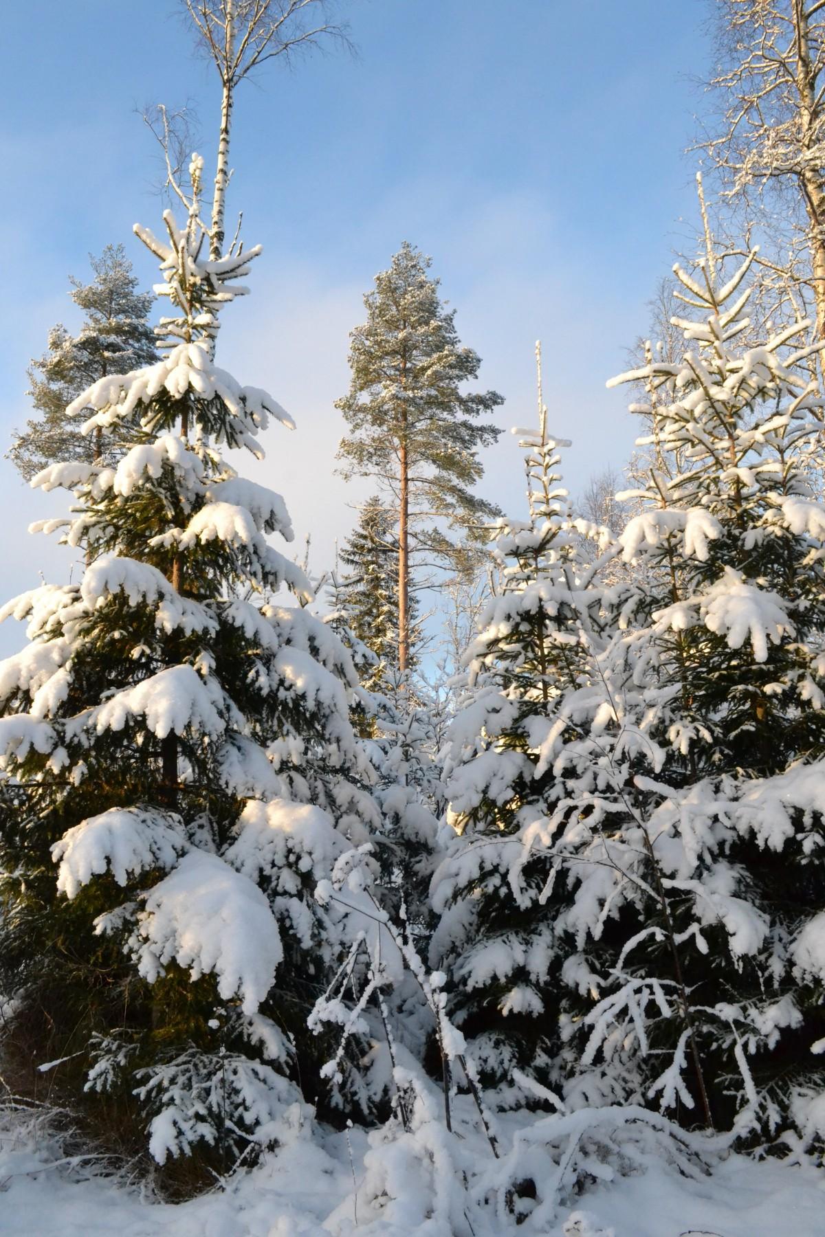 kostenlose foto baum wald ast schnee winter frost. Black Bedroom Furniture Sets. Home Design Ideas