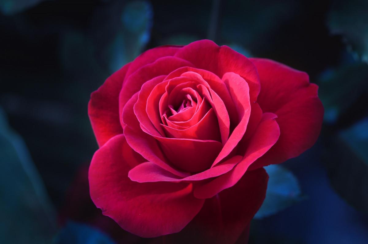Фото красивые розы