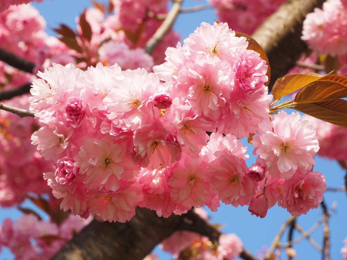 К чему снится дерево цветущее во сне по соннику?