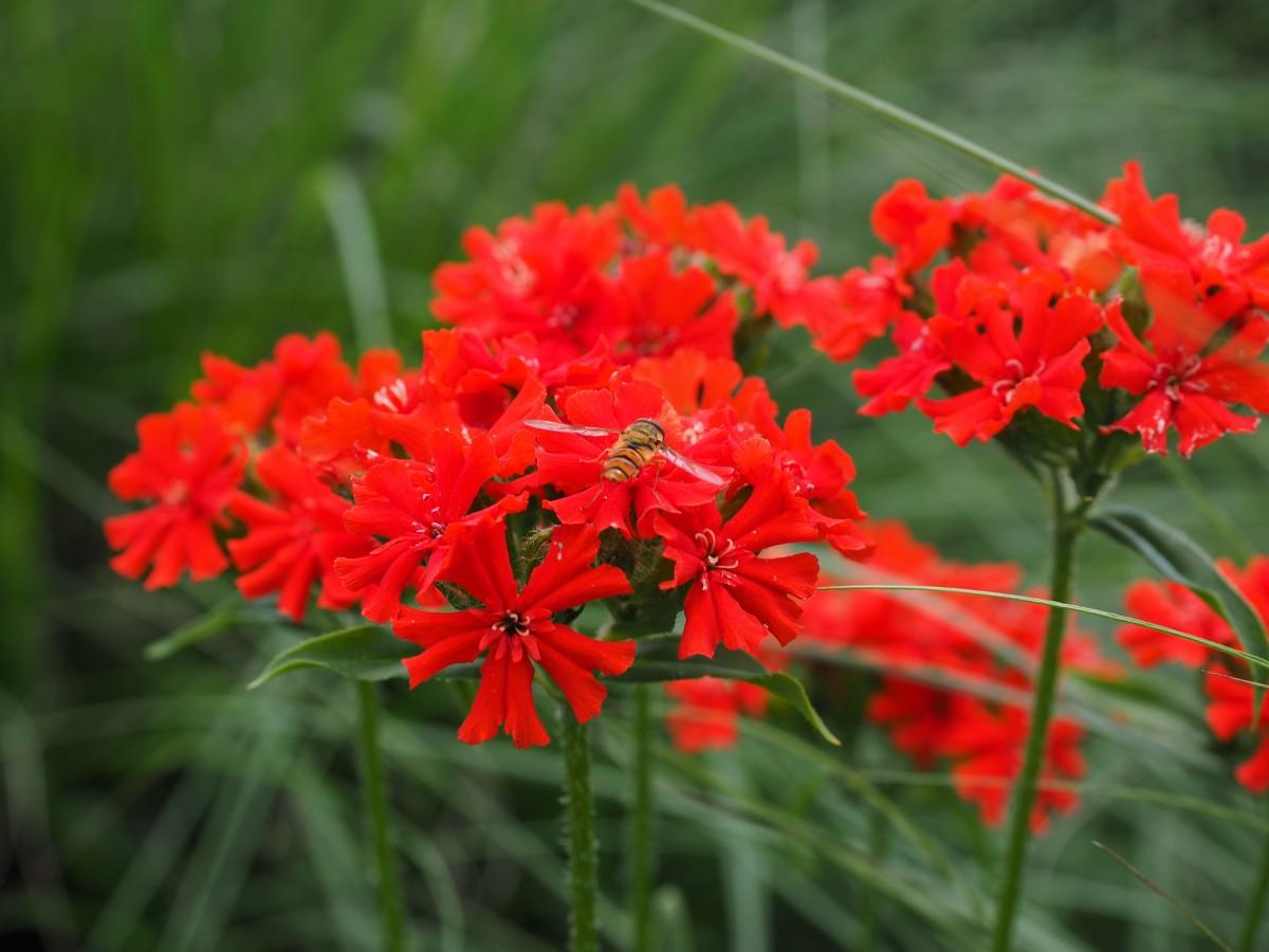 Лихнис: выращивание, посадка и уход - Садовые цветы и 79