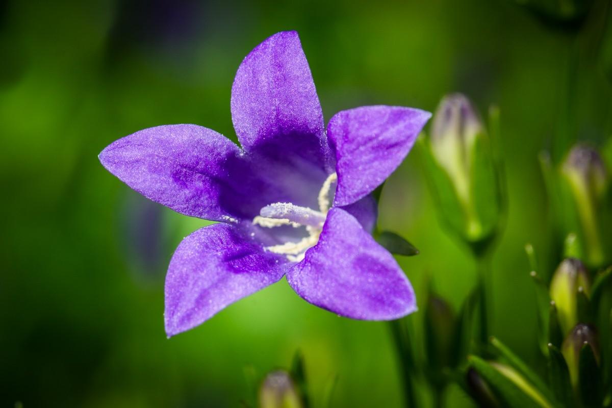 Цветы колокольчики дикие