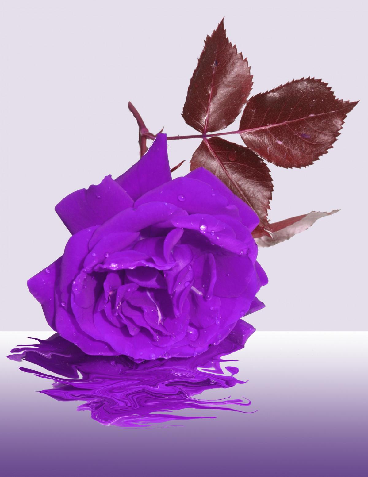 роза одна лиловая картинка самое