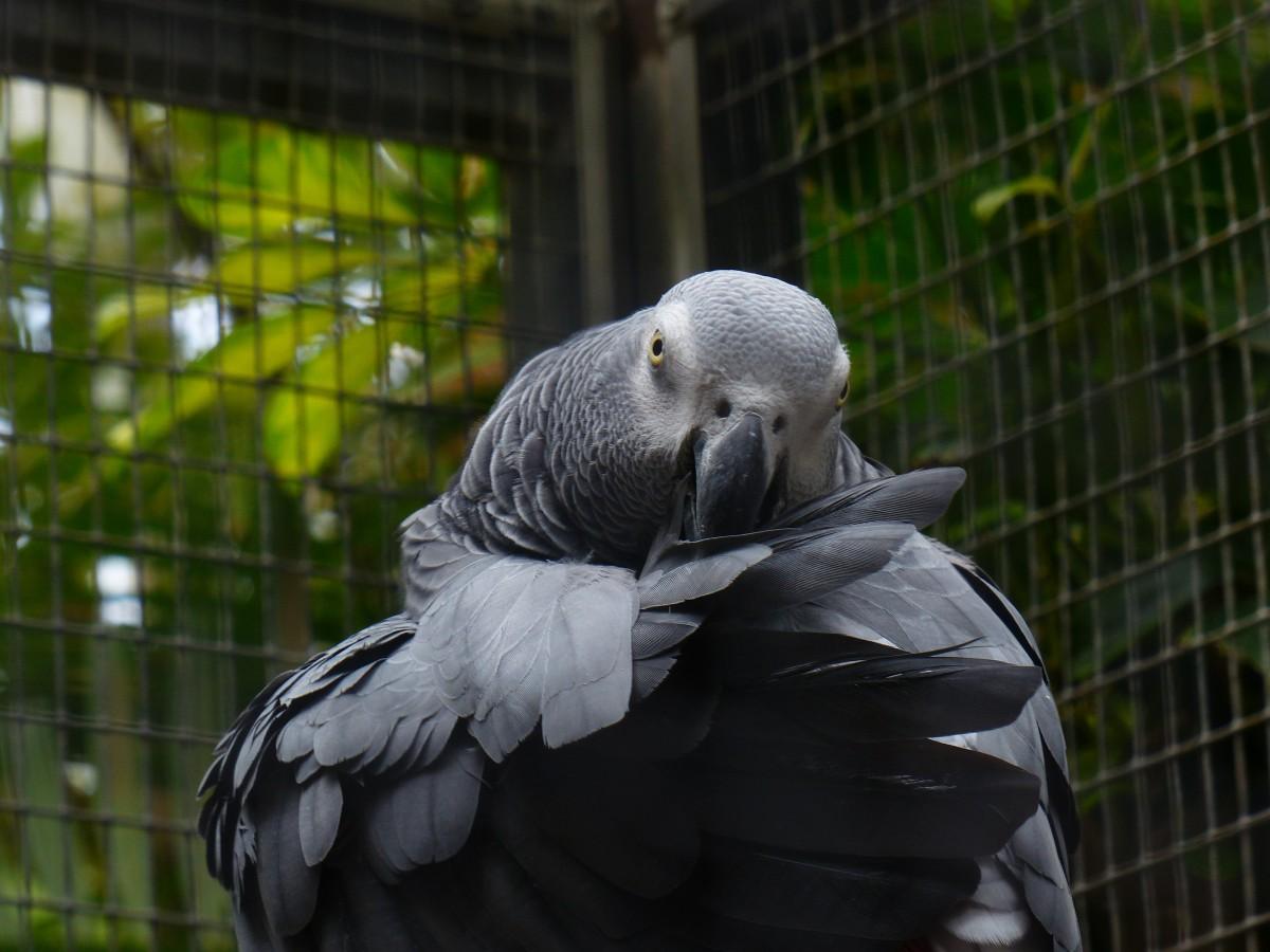 Harmaa Papukaija