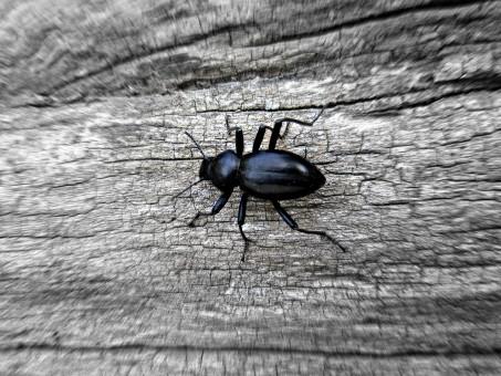 Musta Kovakuoriainen