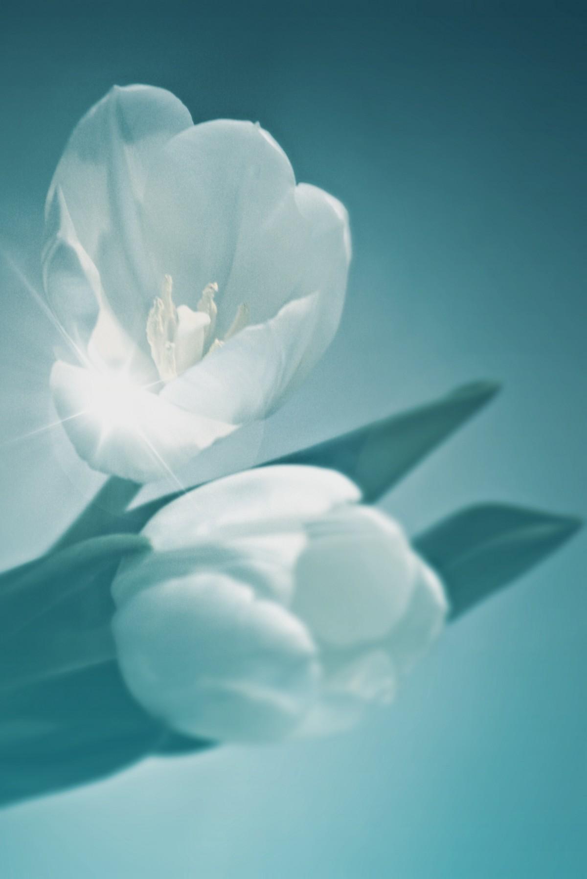 Gambar Mekar Menanam Putih Vintage Daun Bunga Bunga Tulp