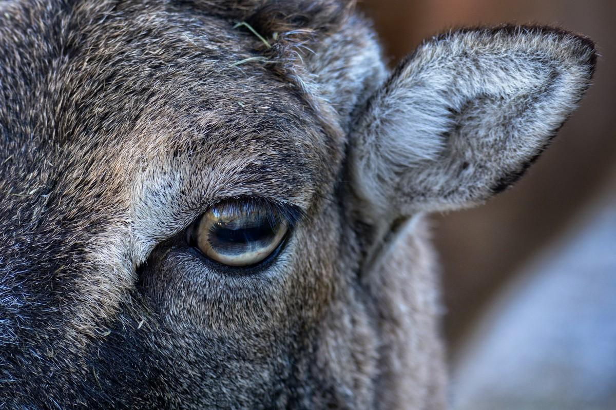 Fotos gratis : naturaleza, cabello, hembra, fauna silvestre, ciervo, Zoo, cuerno, pelaje, retrato, capa, mullido, mamífero, de cerca, animal salvaje, Ojos, hocico, orejas, cabeza, vertebrado, mundo animal, Fotografía de la vida silvestre,