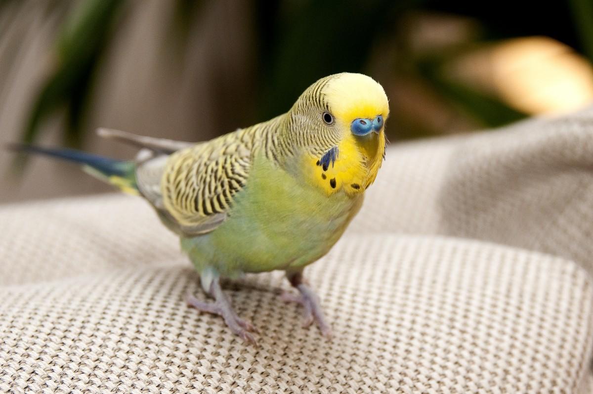 картинки попугаев обычных художественных