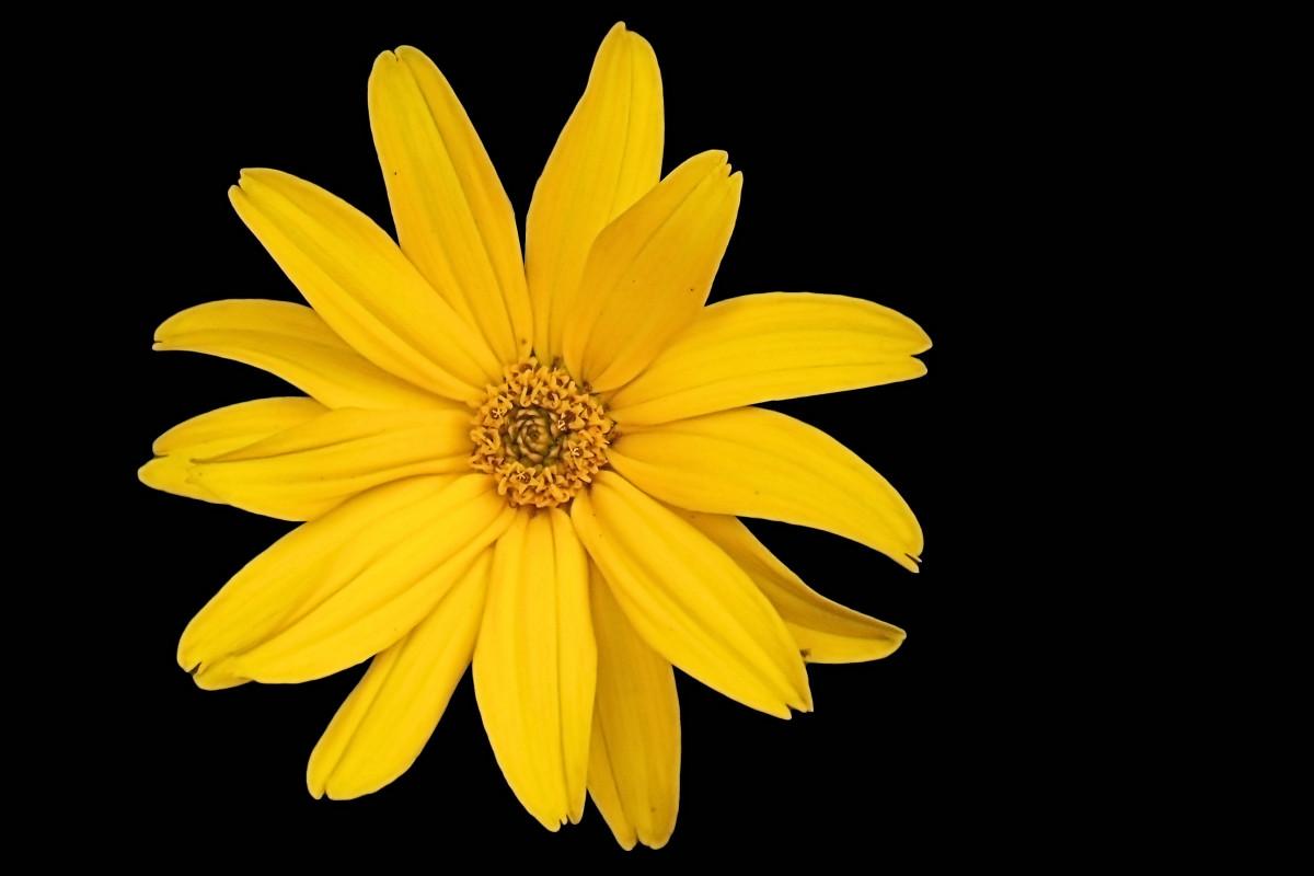 Gratis billeder : blomst, kronblad, flor, sommer, gul ... Yellow Black Flowers Wallpaper