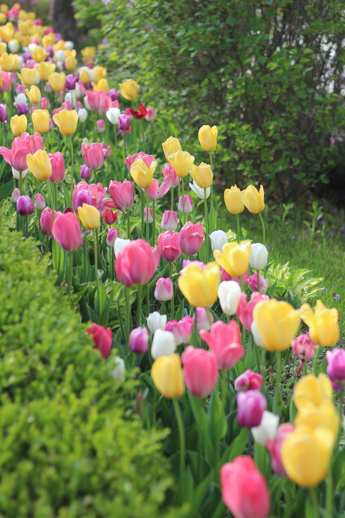 kostenlose foto : natur, feld, wiese, blume, blütenblatt, tulpe