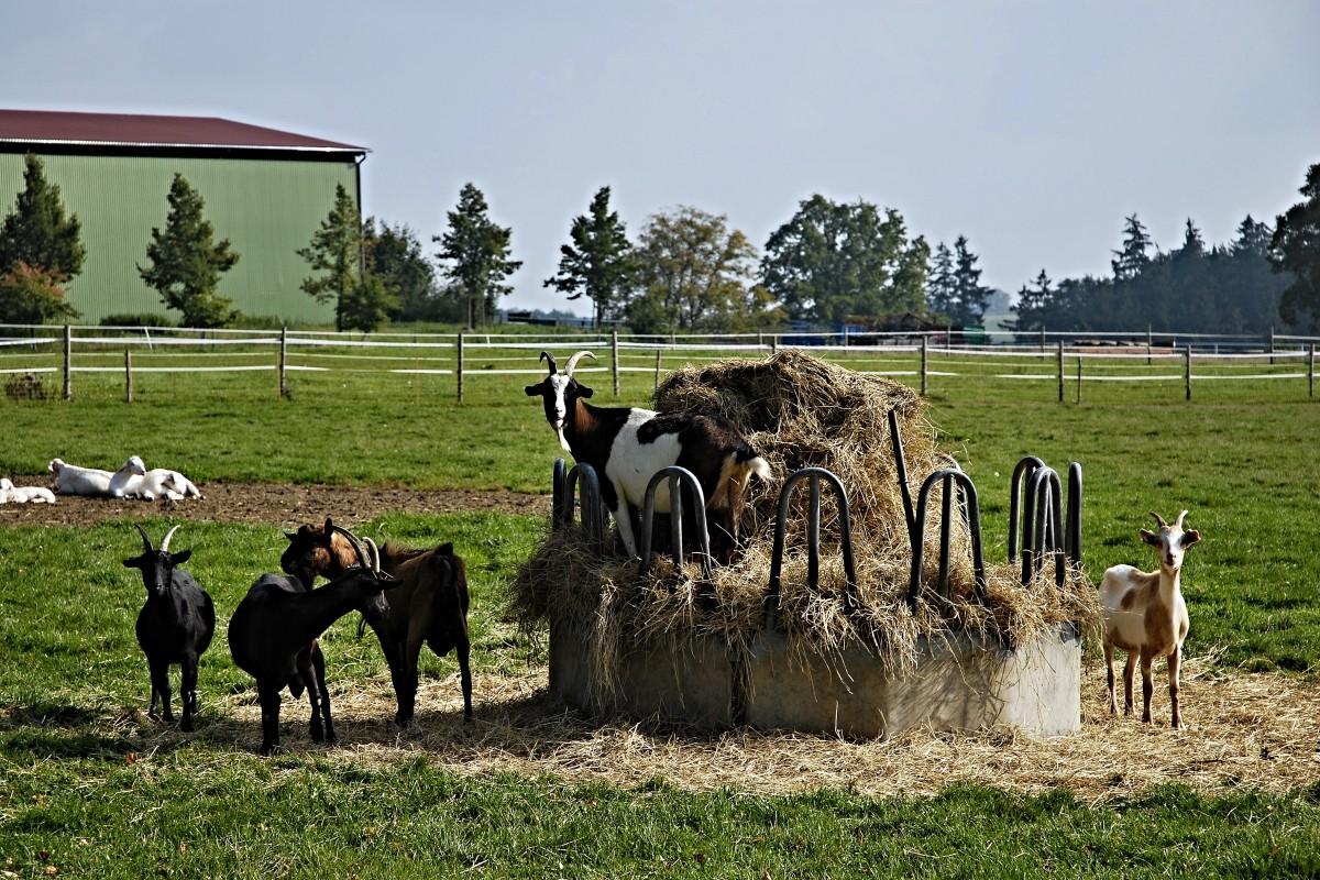 trawa siano gospodarstwo rolne łąka stado pastwisko pasący się ranczo rolnictwo niebieskie niebo drzewa kozy zwierzęta ogrodzenia pastwiska gospodarka obszar wiejski krowa mleczna pasterstwo bydło jak ssak krmelec