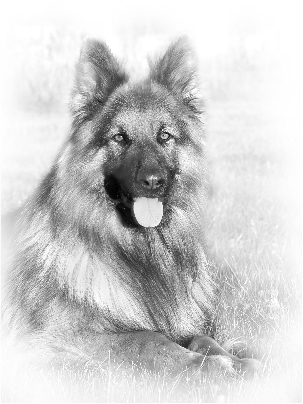 langhåret hund