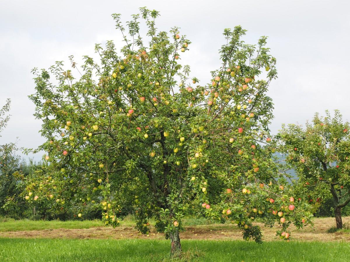 Acerola malpighia - L arbre le pommier ...