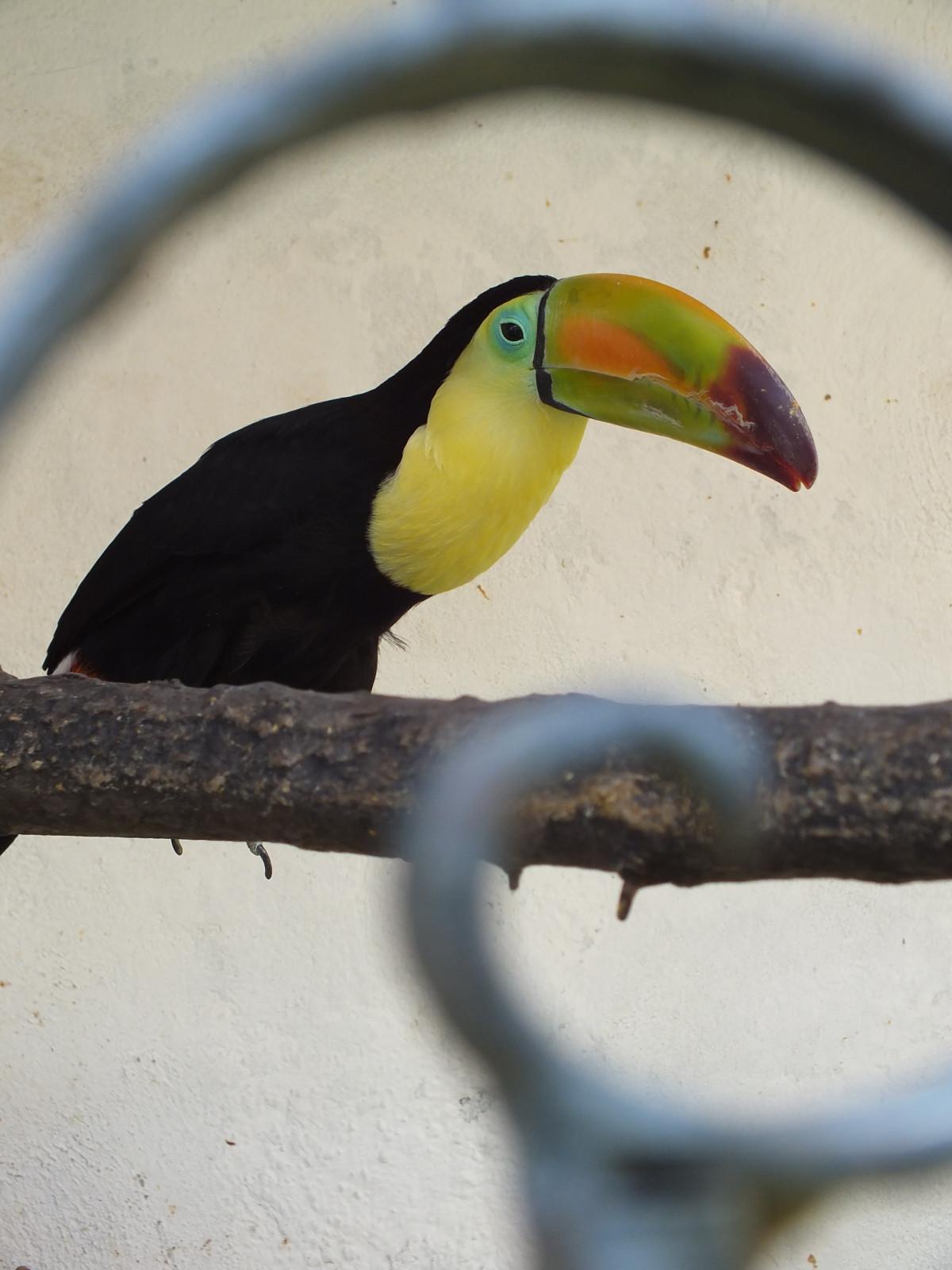 Images gratuites oiseau aile animal de compagnie le for Oiseau noir bec jaune