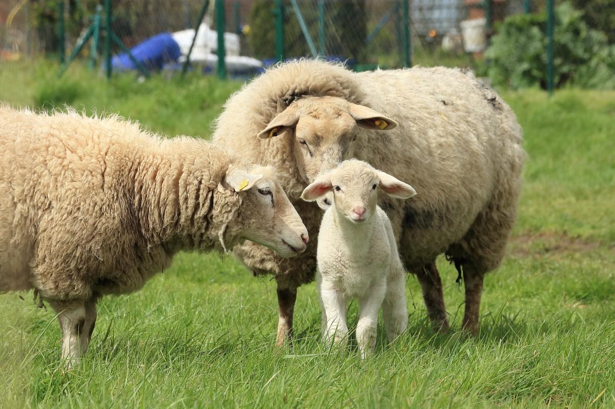 Sheep, The *
