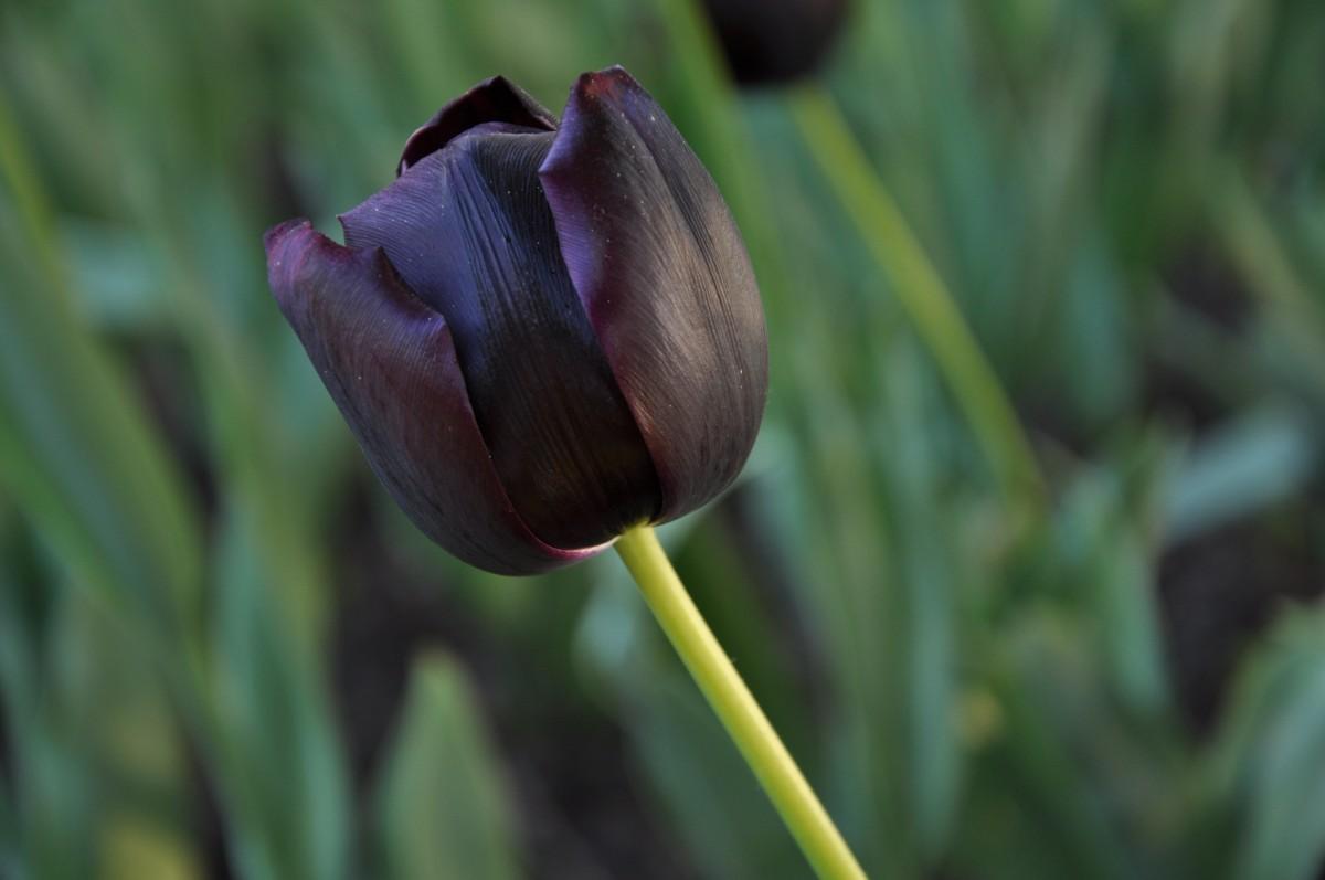 escaso tulipán negro