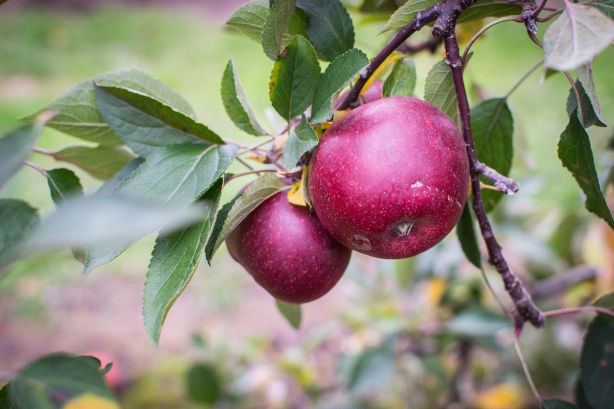 яблоко, дерево, филиал, цвести, растение, фрукты