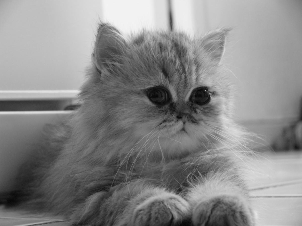 Free black and white animal pet fur kitten black cat