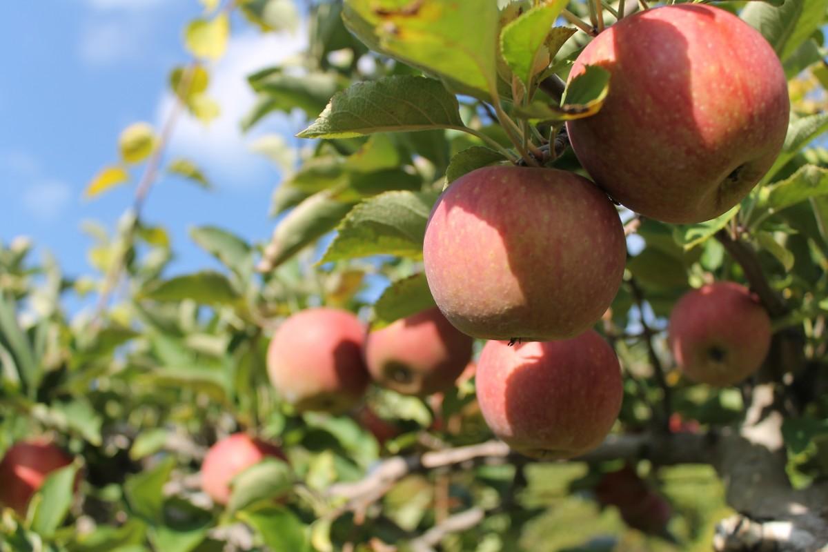 яблоко, дерево, природа, трава, филиал, рост