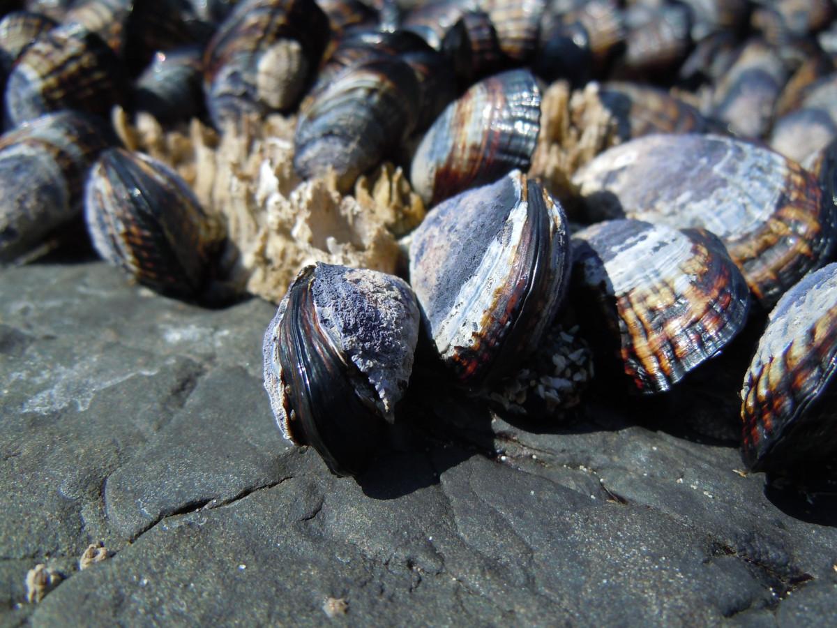 Морские моллюски литорины фото начале