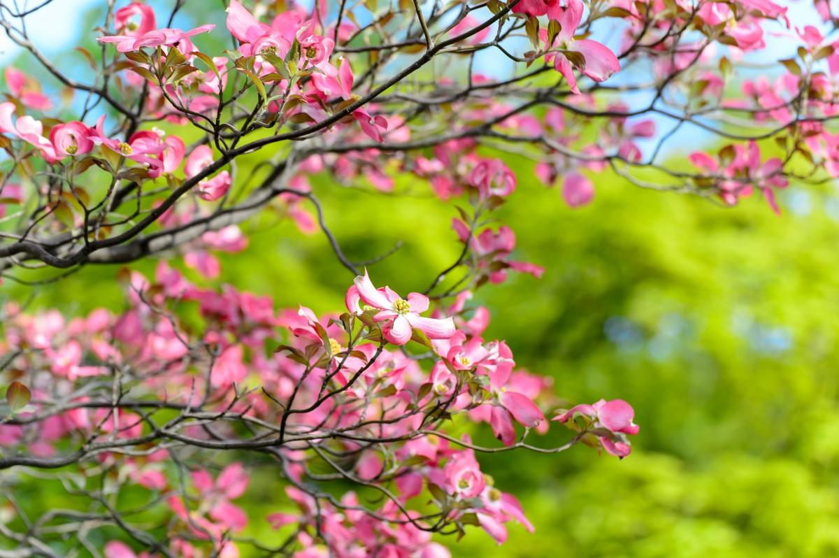 Images gratuites paysage arbre branche ciel feuille p tale printemps vert naturel - Arbre rose japon ...