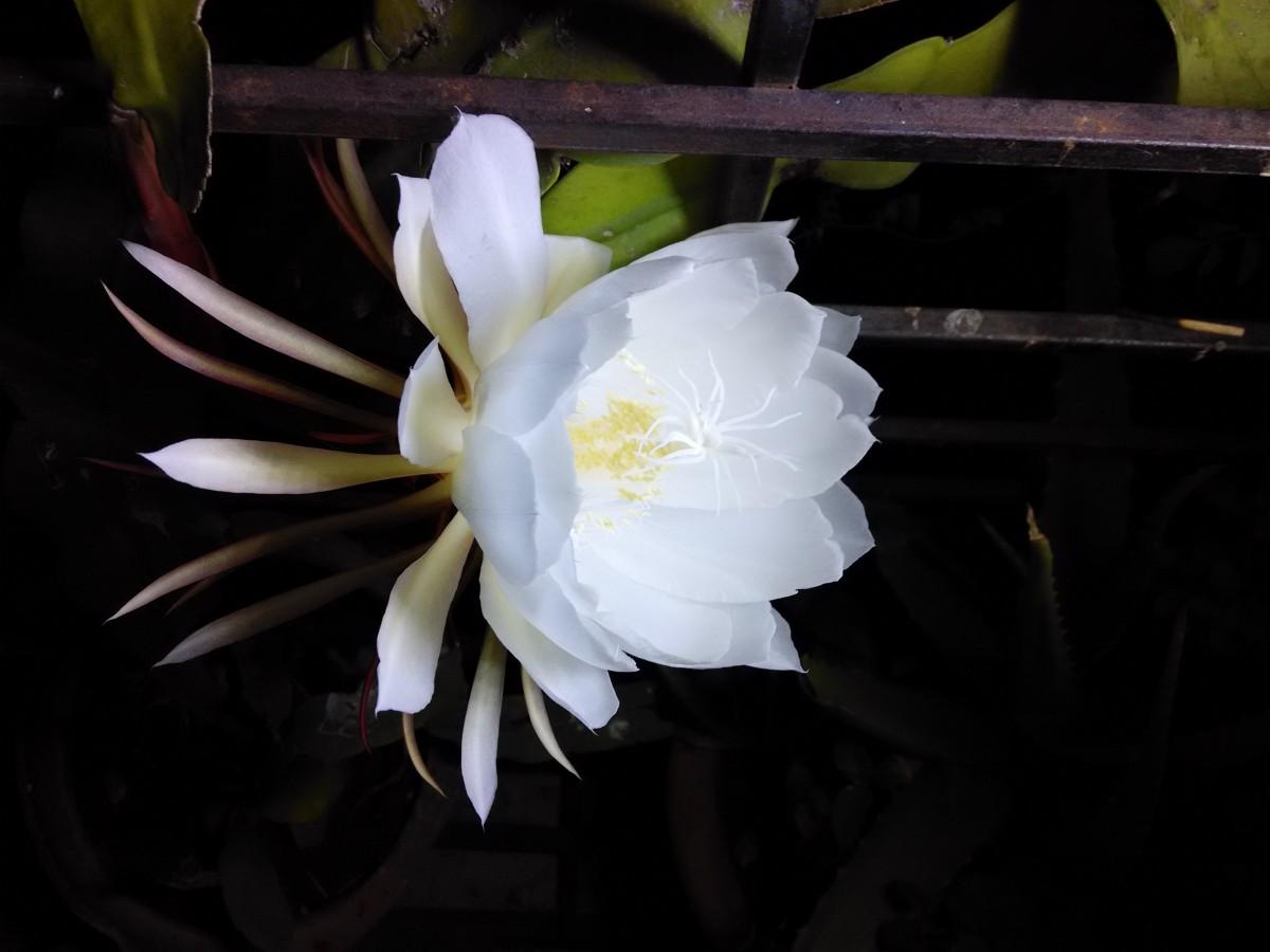 Белый цветок распускающийся ночью