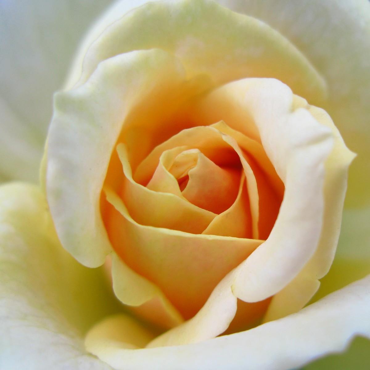 Garden Roses Flower Petal: Free Images : Flower, Petal, High, Red, Pink, Cool Image