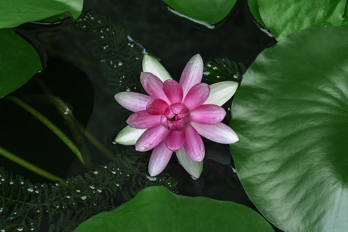 Free images blossom leaf flower petal green botany for Ornamental pond plants
