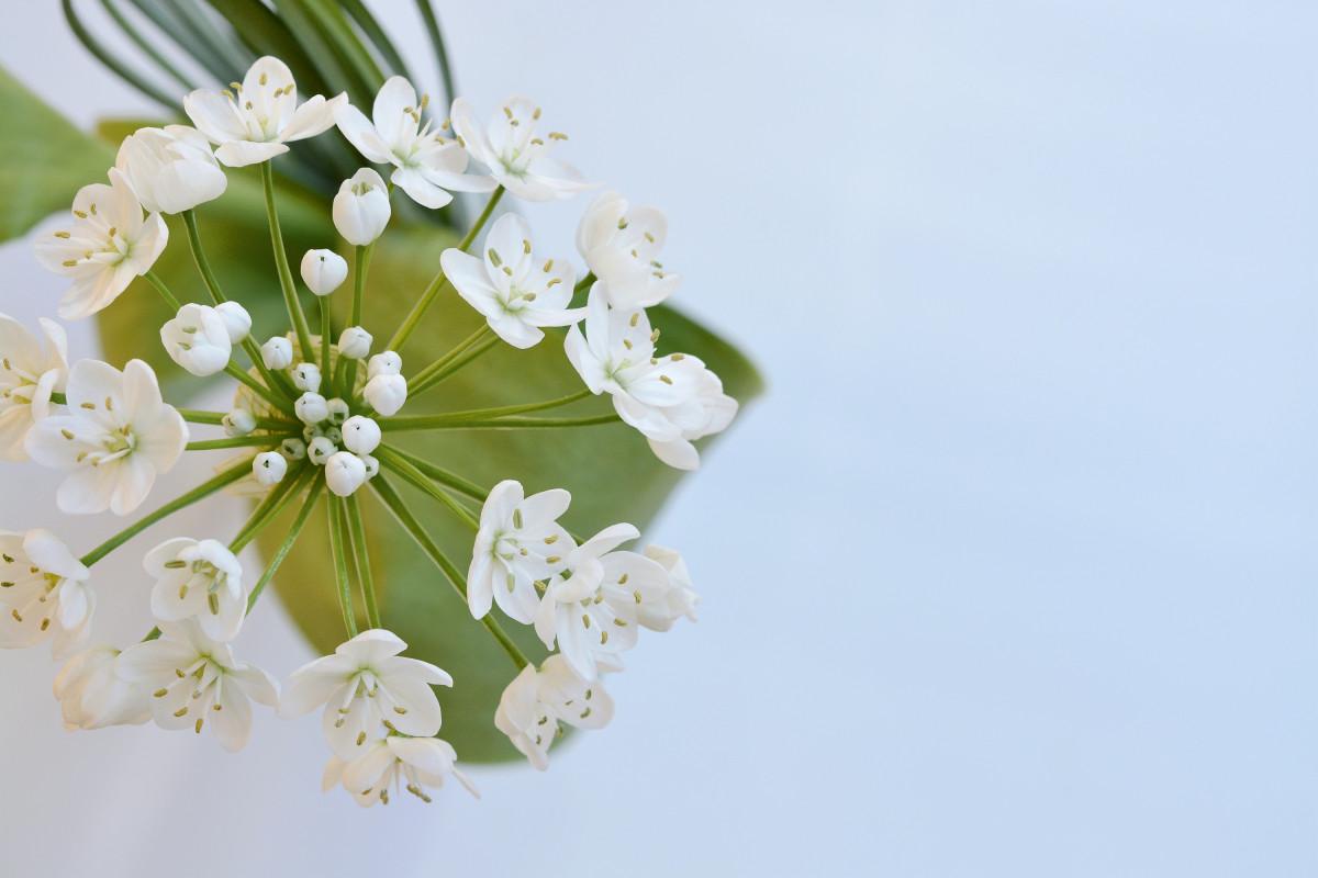 крупные белые цветы цветущие весной