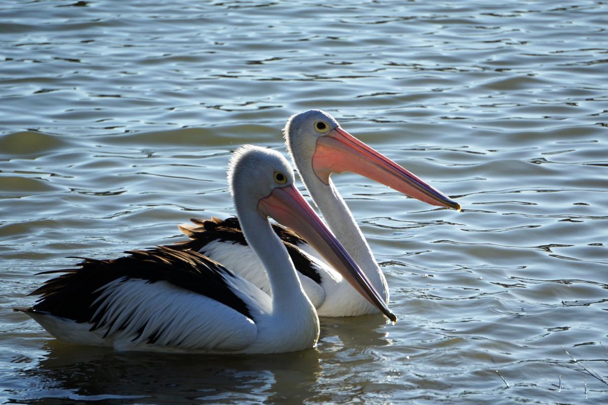 пеликан большие картинки так