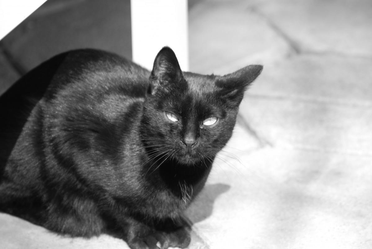 Gambar Kucing Hitam Keren godean.web.id