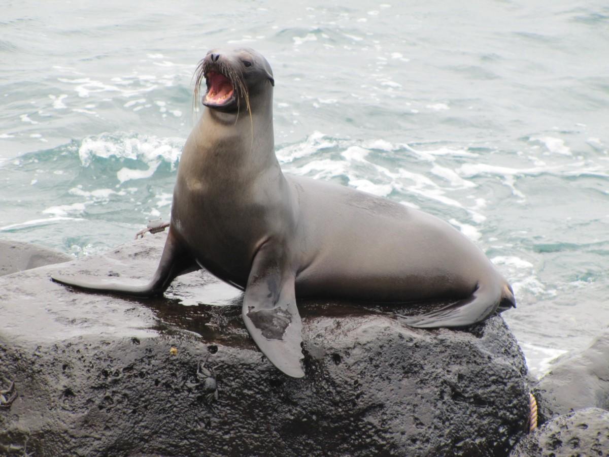Free Images : sea lion, seals, vertebrate, harbor seal ...