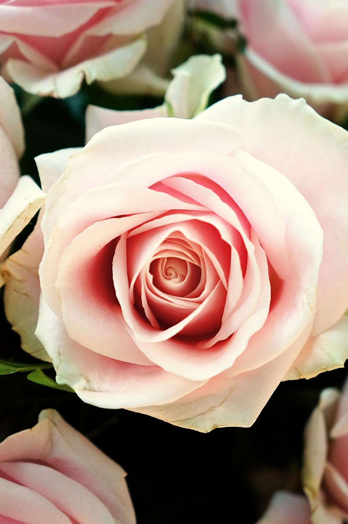 Написать, картинки цветов роз фото